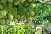 """Mẹ Việt xứ Đài dồn nỗi nhớ nhà vào việc trồng vườn rau """"gì cũng có"""""""