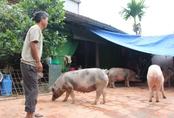 Hà Nội: Người dân Chương Mỹ vẫn phải sống chung với vật nuôi sau vụ vỡ đê
