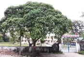 Loại bỏ cây ngô đồng trong trường học sau hàng loạt vụ ngộ độc tập thể