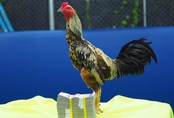 Gần 660 triệu đồng chuyển nhượng một con gà gây xôn xao