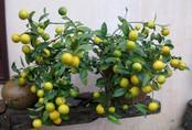 Mẹo trồng chanh trong chậu cực dễ cho cây sai trĩu quả, hái mỏi tay