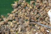 Nuôi hàng nghìn con ếch làm chà bông xuất bán sang Campuchia