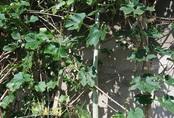 Giống mướp rừng dài hơn 2m gây ngạc nhiên