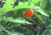 Cây hồng nhung quý hiếm trên 100 tuổi độc nhất cho quả quanh năm