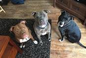 Chỉ 5 phút ở một mình cùng 3 con chó pit bull, bé gái 3 tuần tuổi bị cắn đến chết