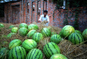 Trung Quốc không mua dưa hấu Việt Nam là do… trái to