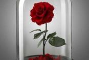 """Hoa hồng vĩnh cửu giá chát vẫn gây """"sốt xình xịch"""" dịp 20/10"""