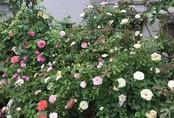 Sau 3 năm trồng hoa hồng, người phụ nữ Hà Nội đã sở hữu một vườn hồng thơm ngào ngạt trên sân thượng