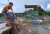 Kiếm hàng trăm triệu đồng mỗi năm nhờ cho cá ăn tỏi