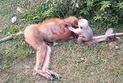 Rớt nước mắt cảnh chú khỉ con kêu khóc cố gọi mẹ dậy trong tuyệt vọng khỉ mẹ bị xe đâm