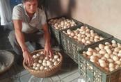 Nuôi ngan bán trứng, sáng mở mắt ra đã có 500 ngàn đồng