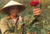 Ông nông dân kiếm 1 tỷ/năm nhờ vườn hoa hồng 11.000 m2
