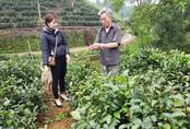 Cụ ông thu 15-20 triệu/lứa nhờ trồng chè tím quý hiếm