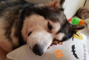 Câu chuyện cảm động về chú chó Alaska thông minh, cứu cả gia đình chủ trong đám cháy kinh hoàng tại chung cư ở Sài Gòn