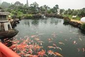 Ngất ngây ngắm hồ cá Koi Nhật Bản gần 10 tỷ tại Việt Nam