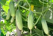 """2 cách trồng dưa chuột sạch trong thùng xốp tại nhà cho quả sai lúc lỉu, ăn """"mỏi mồm"""""""
