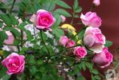 Mảnh vườn nhỏ chỉ vỏn vẹn 10m² nhưng có đến hàng trăm chậu hồng, chậu nào cũng ra hoa đẹp ngỡ ngàng của mẹ Việt ở Nhật