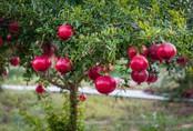 Cách trồng lựu lùn trong chậu dễ ợt, vừa trang trí nhà vừa mỏi tay thu hoạch quả