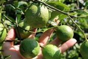 Năm ngoái trồng chanh lãi đậm, giờ bán 1kg không mua nổi ly trà đá