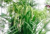 Cô giáo Hà Nội đón Tết, cầu no đủ bằng việc trồng lúa làm cảnh