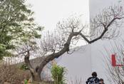 Những cây đào đặc biệt chỉ nhà giàu mới dám rước về chơi Tết