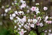 """Ngắm vườn mai trắng hiếm có ngay giữa """"thủ phủ"""" đào Nhật Tân"""
