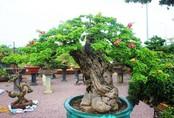 """Bonsai cổ thụ dáng cực lạ giá cả trăm triệu ngóng """"đại gia"""" dịp Tết"""