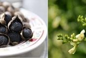 Cứu trái tim phải dùng tỏi đen, hoa hòe theo đúng cách sau
