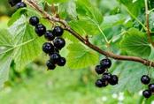 4 loại thảo dược trong Anti-Aging Cream Fedora giúp da hồng hào căng bóng sau tuổi 30