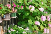 Biến sân thượng trống thành khu vườn đủ loại cây hoa đẹp như công viên, gia đình trẻ khiến nhiều người ghen tị