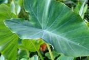 Có một thứ cực tốt cho sức khỏe ở cây khoai môn nhưng mọi người thường vứt đi mà không hay biết