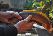 Cá cửng: Đặc sản chỉ dành cho vua, siêu quý hiếm ở đất Ninh Bình
