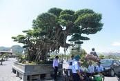 Cây sanh 'khủng' nhất Việt Nam chưa hoàn thiện đã có giá triệu đô