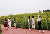 Mê mẩn với vẻ đẹp của đồi hoa hướng dương chỉ cách trung tâm Hà Nội 15 km