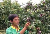 Mộc Châu: Đếm tiền mỏi tay nhờ trồng mận