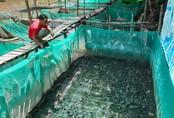 Nuôi bạt ngàn ếch Đài Loan ở dưới sông, lời 90 triệu đồng/vụ