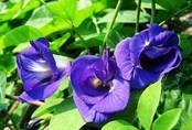 Cách trồng đậu biếc từ 1 hạt mầm, chị em đua nhau lấy hoa làm trân châu ngon hết nấc