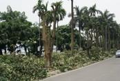 Hàng trăm cây hoa sữa ở Hà Nội bị chặt cành, cưa ngọn trong đêm