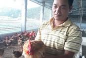 Mãn hạn tù về nuôi gà Tàu, cứ bán 1 lứa lãi gần 50 triệu đồng
