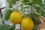 Cách trồng dưa gang trong thùng xốp, vàng rực góc nhà, ai cũng tưởng rau đột biến