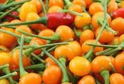 50 triệu đồng một kg ớt 'đắt nhất thế giới'