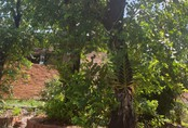 Vườn rau rừng cổ thụ khổng lồ, bán 100 triệu ở Tây Ninh