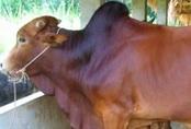 Trộm xẻ thịt bò để lại nội tạng và xương
