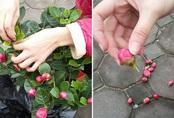 """Đủ chiêu thức lừa đảo bán các loại cây hoa chưng Tết: Người tiêu dùng """"ba đầu sáu tay"""" phòng bị"""