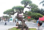 Bắc Ninh: Sửng sốt với cây khế cổ có giá 5 tỷ đồng