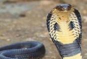 Bàn tay hoại tử vì tự chữa sau khi bị rắn cắn