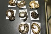 Phát hiện 16 con rắn và 13 trăn kim cương trong vỏ gối