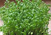 Cách trồng rau mầm không cần đất, 7 ngày sau có rau ăn mãi không hết