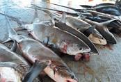 'Nhiều người tưởng đang ăn cá hồi, cá kiếm nhưng thực ra là cá mập'