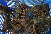 Bỏ lương nghìn USD ở sân bay, 9x Khánh Hòa về bán tôm hùm lãi đậm